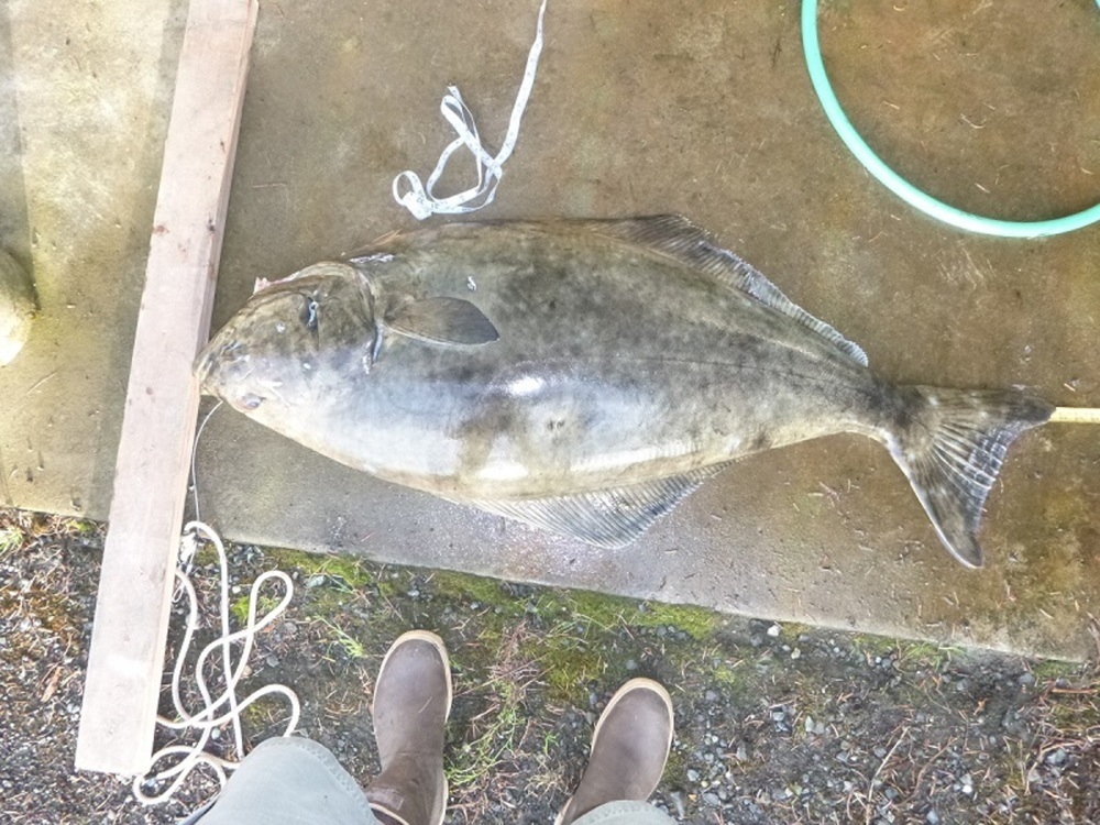 Halibut full 51.5 052414