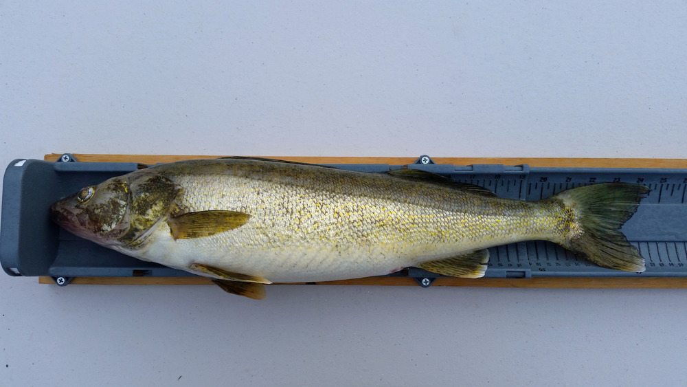 Walleye full