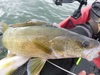 Walleye 1 thumb