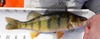 Dt yellowperch01a thumb