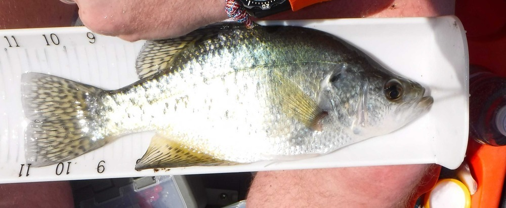 Dt crappie01a
