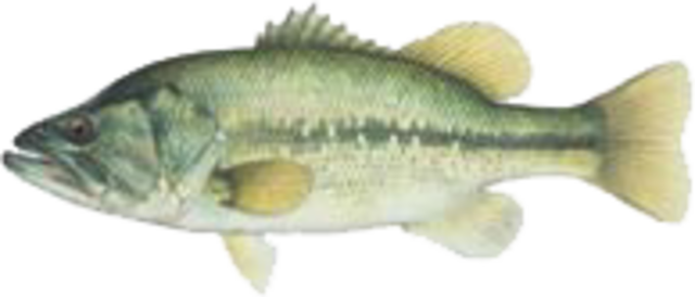Largemouth bass medium