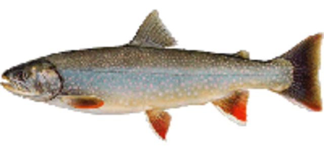 Dolly varden medium