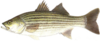 Striped bass medium thumb